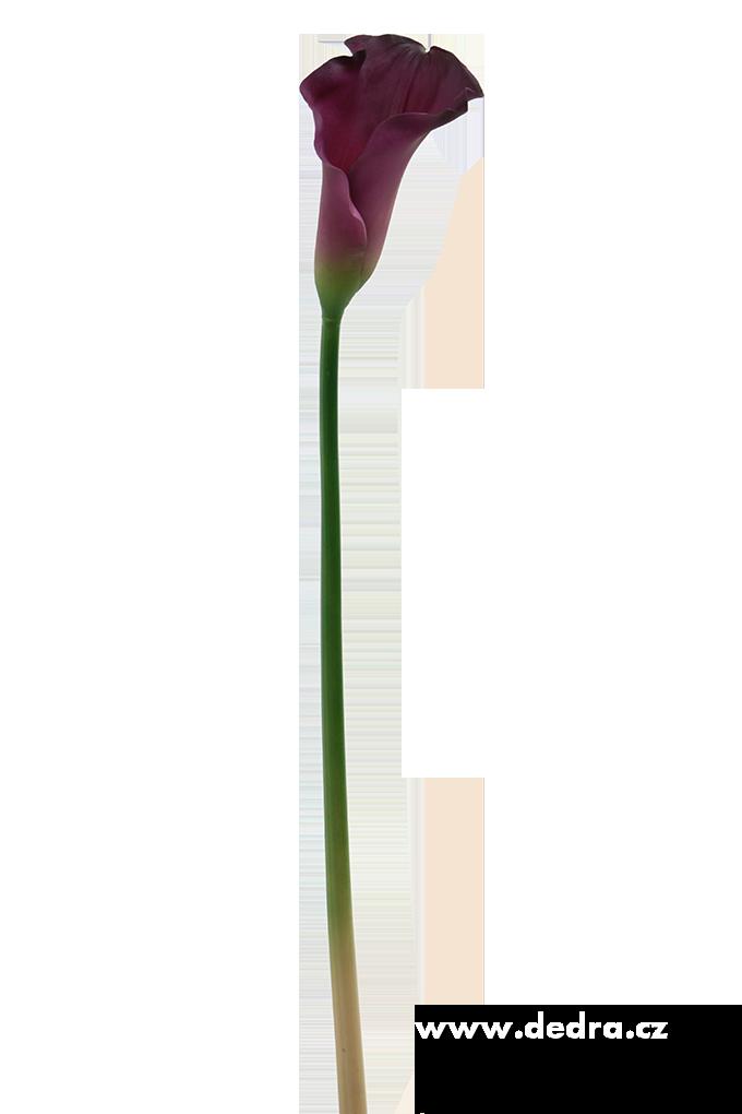 Calla tmavě fialová výška 77 cm ateliérová květina