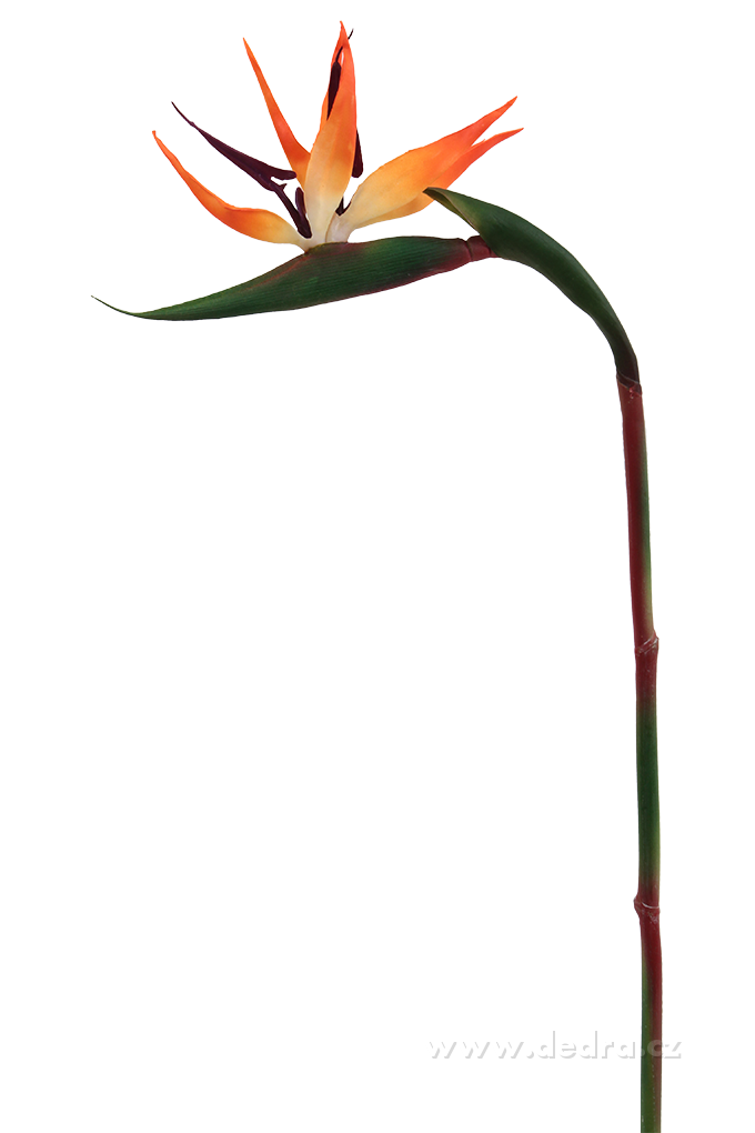 Strelitzia výška 86 cm ateliérová květina