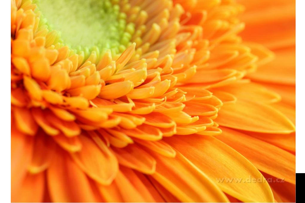 Obraz na plátně 70 x 50 cm ORANGE FLOWER