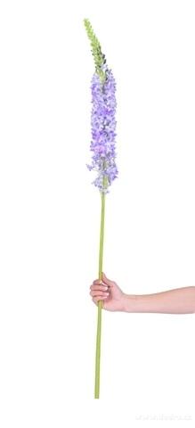 DA98352-VERONICA modro-fialová výška cca 130 cm ateliérová kvetina